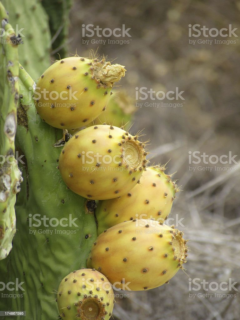 Prickly Pear Cactus royalty-free stock photo
