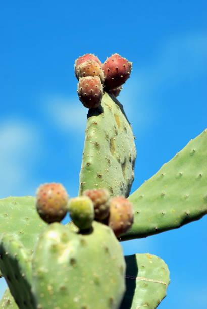 prickly pear cactus  - kaktusfrucht stock-fotos und bilder