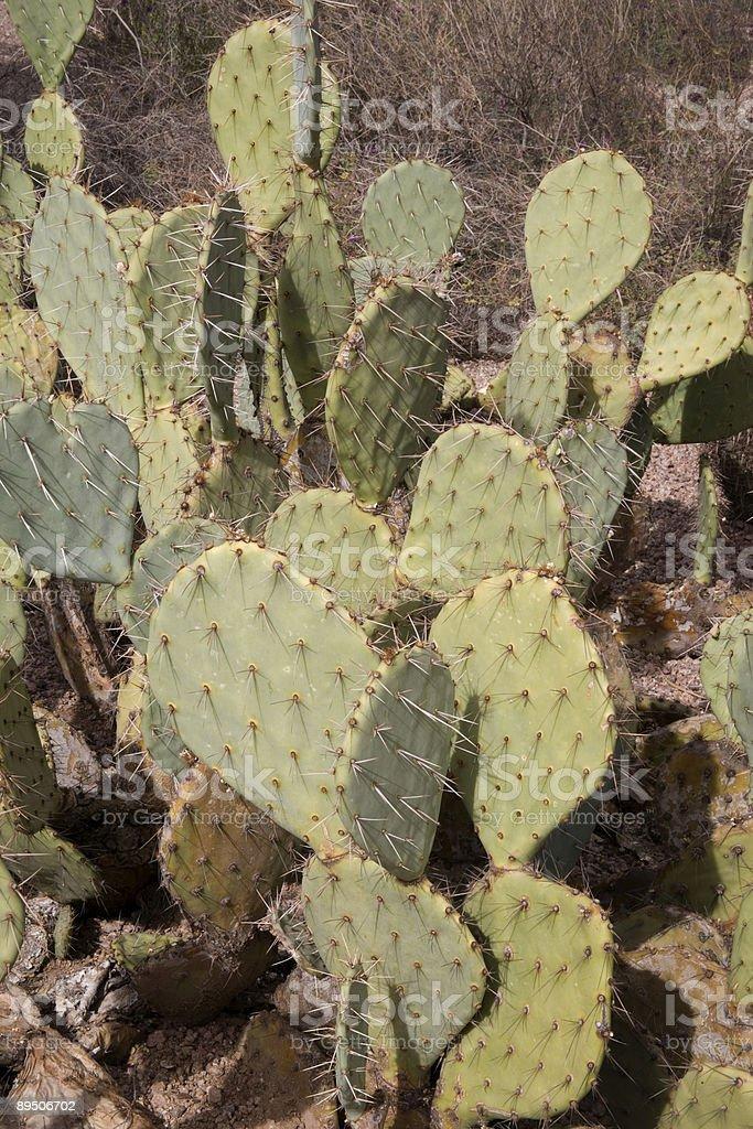 Cactus Figuier de Barbarie photo libre de droits