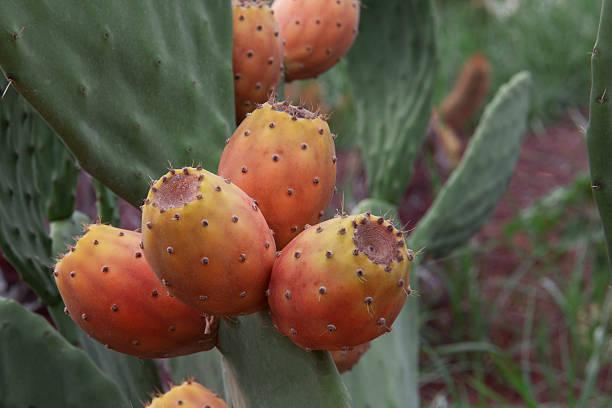 feigenkaktus mit obst in rot - kaktusfrucht stock-fotos und bilder