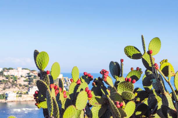 stultvoller birnenkaktus mit früchten - kaktusfrucht stock-fotos und bilder