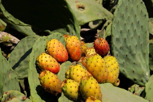 prickly pear cactus mit früchten - kaktusfrucht stock-fotos und bilder