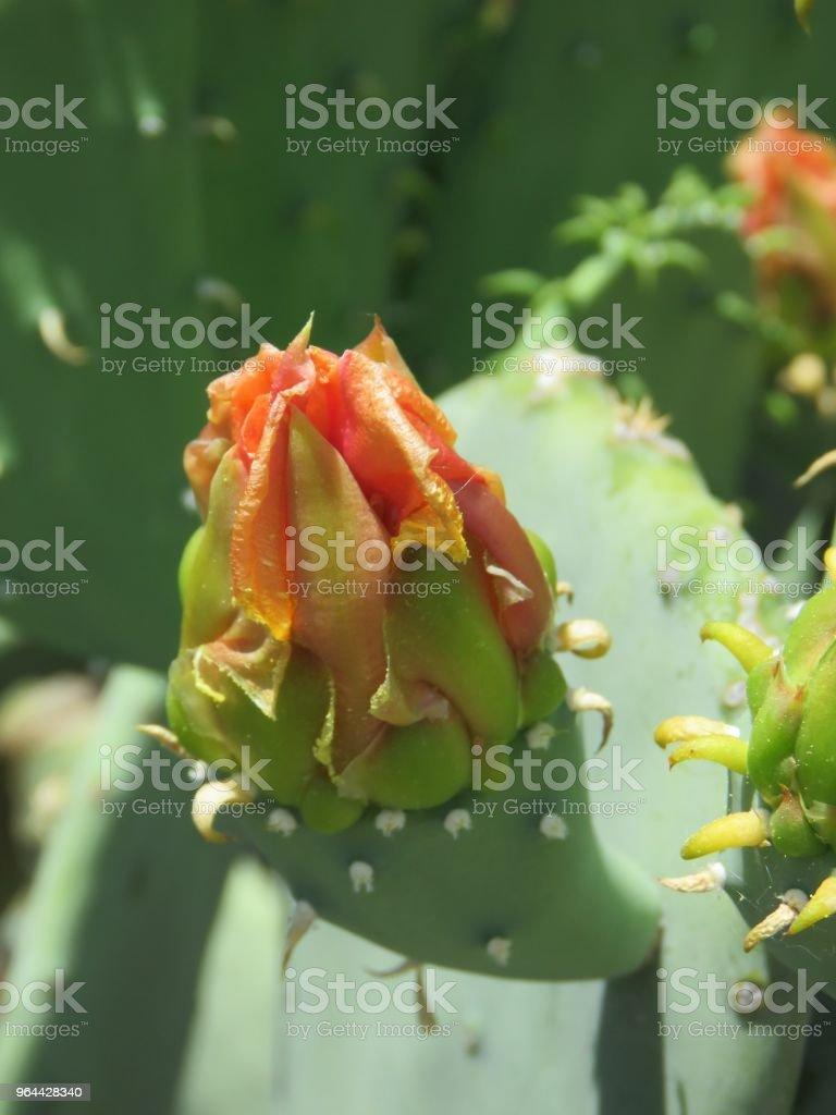 prickly pear cactus gele bloesem - Royalty-free Bestuiving Stockfoto