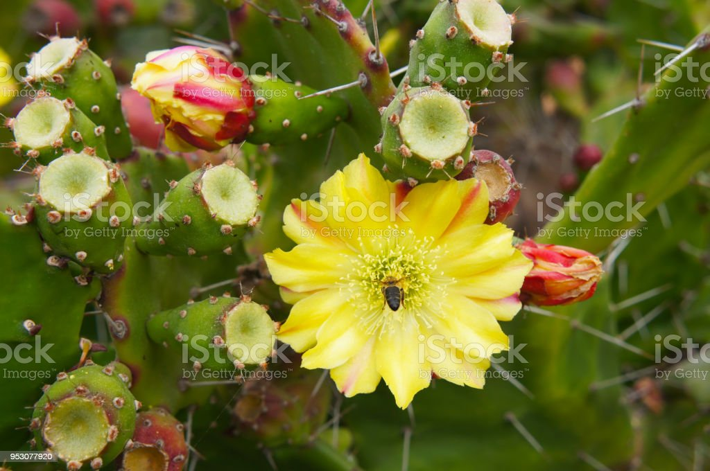 Prickly pear cactus yellow flower blossoming stock photo more prickly pear cactus yellow flower blossoming royalty free stock photo mightylinksfo Images