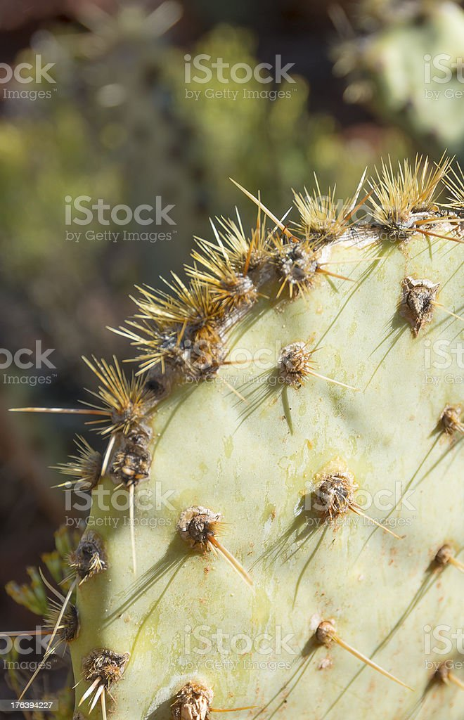 Prickly Pear Pad stock photo