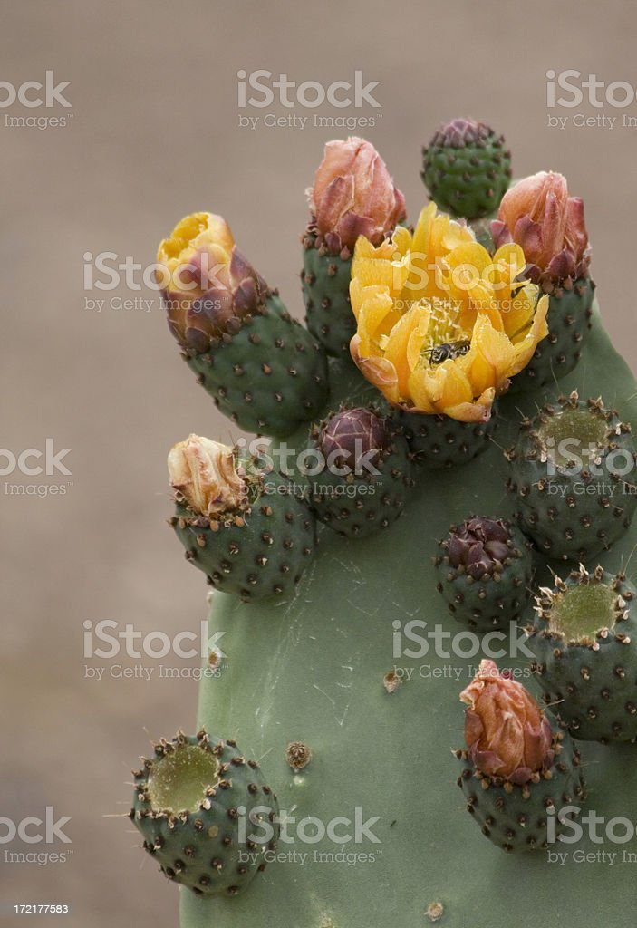 Prickly Pear Pad with Blossoms royalty-free stock photo
