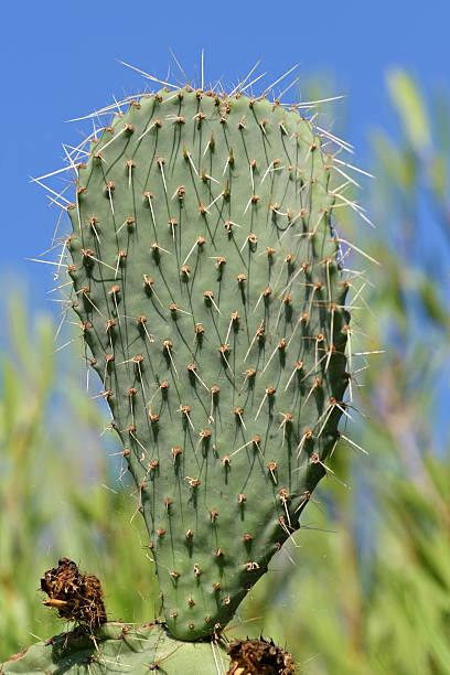 prickly pear - gblu stock-fotos und bilder