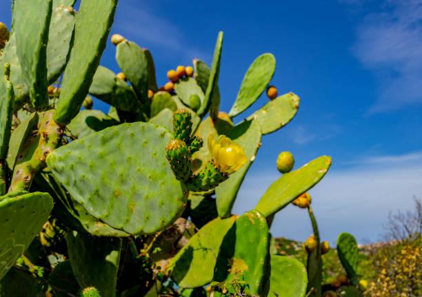 kaktusfeige-anlage in der nähe von palau (olbia-tempio, sardinien, italien) im september. - palau sardinien stock-fotos und bilder