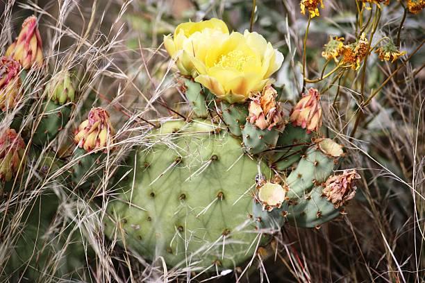 higo chumbo amarillo flores en el desierto, california, usa - opuntia robusta fotografías e imágenes de stock