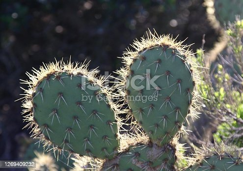 Prickly spines on a prickly pear cactus in Arizona