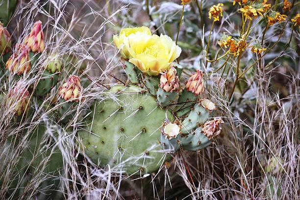 pricklypear amarillo flores en el parque nacional joshua tree, california, usa - opuntia robusta fotografías e imágenes de stock