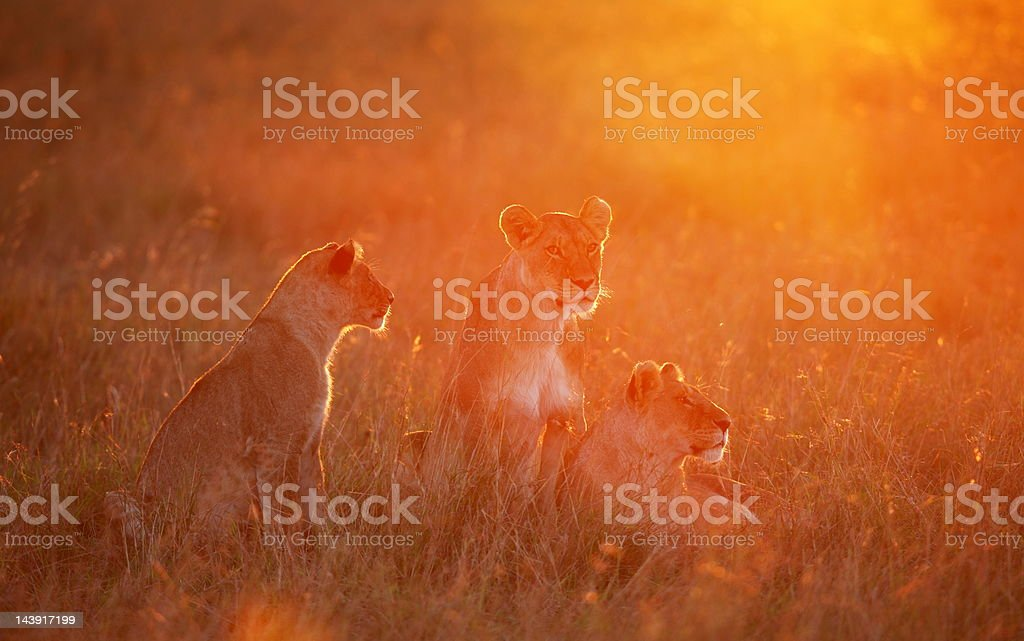 Pride at dawn stock photo