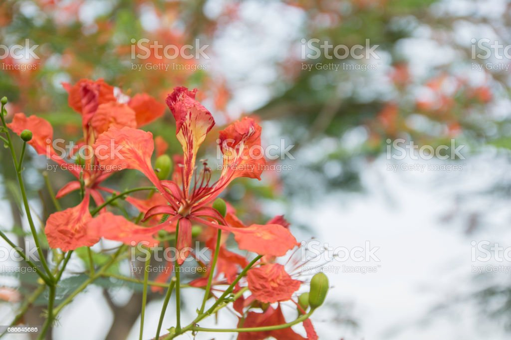 Pride of Barbados on a blurred background . royalty-free stock photo