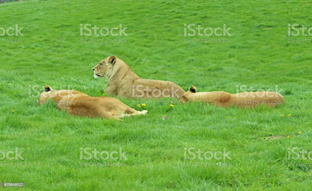Pride of Lionesses Laying in a Field royalty-free stock photo