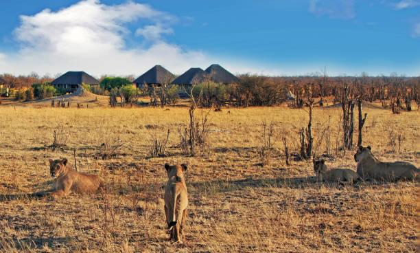 Stolz der Löwen auf einen Kill mit einer Safarihütte in der Ferne gegen einen blauen wolkenverhangenen Himmel in Nehimba, Hwange Nationalpark, Simbabwe – Foto