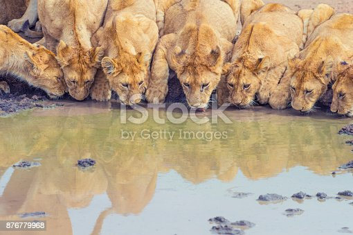 Pride of lions drinking at a waterhole. Cub and adult lions