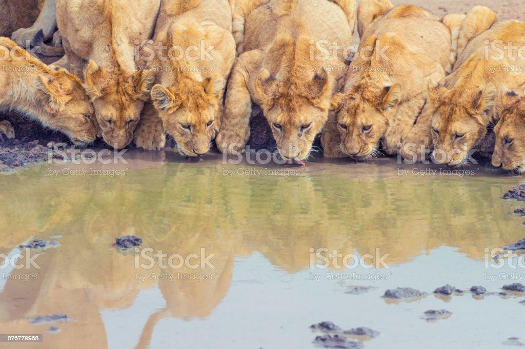 Stolz der Löwen an einer Wasserstelle zu trinken. – Foto