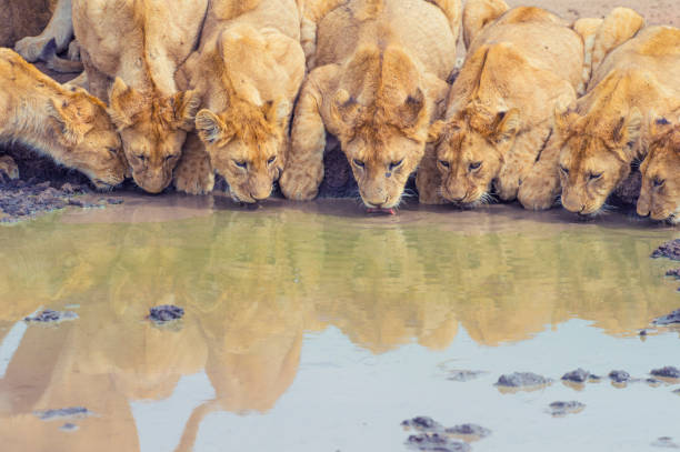 Pride of lions drinking at a waterhole. Pride of lions drinking at a waterhole. Cub and adult lions animal family stock pictures, royalty-free photos & images