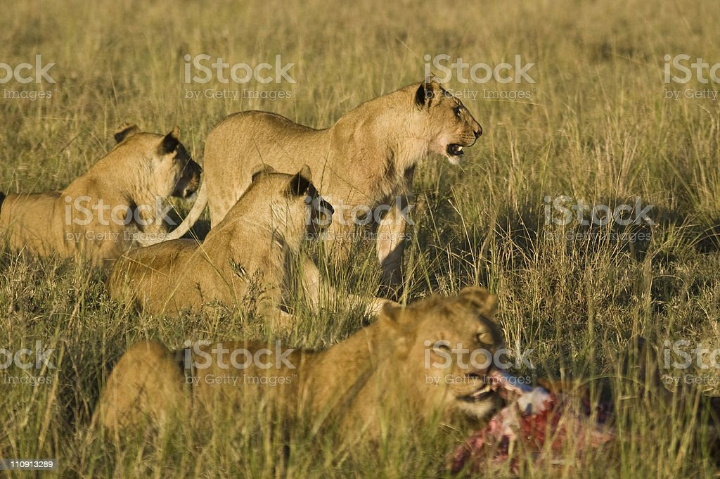 Pride of Lions eating Wildebeest royalty-free stock photo