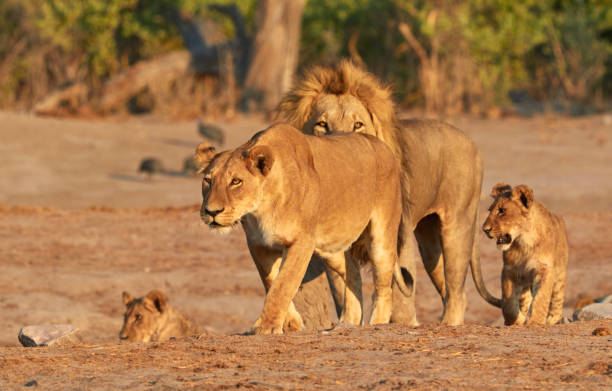 Pride of lions in Botswana stock photo
