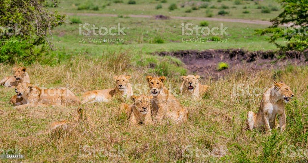 Pride of lions in Serengeti N.P. - Tanzania royalty-free stock photo