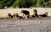 A lioness and a cub in the Etosha National Park, Namibia, Africa; Concept for travel in Africa and Safari