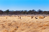 Pride of lions in the savannah, in Namibia, Africa, concept for safari travel and travel in Africa