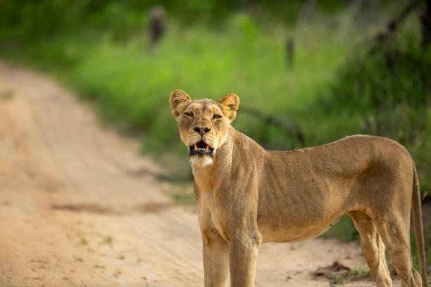 A pride of lions – zdjęcie