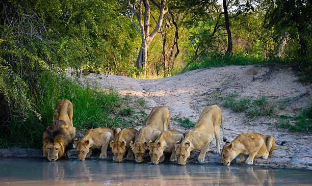 pride of lions - safari tiere stock-fotos und bilder