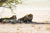 Löwenbaby im Etosha-Nationalpark