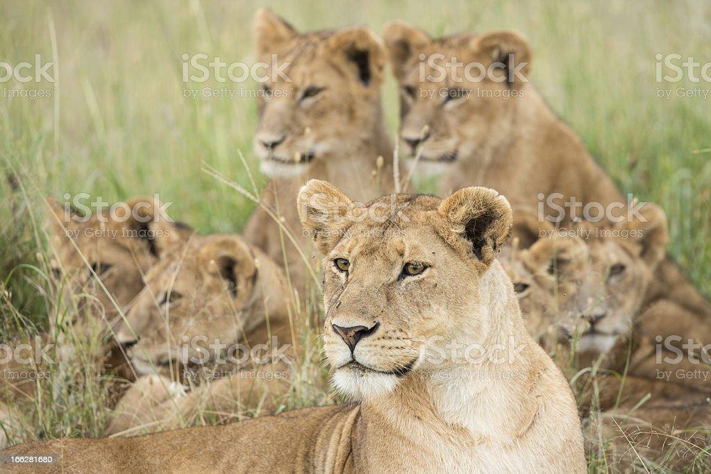 Pride of Lions, Serengeti, Tanzania stock photo