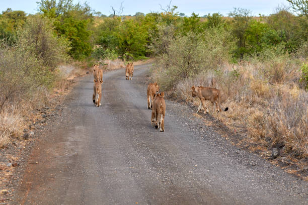 Pride of lions walking over the road in Kruger stock photo
