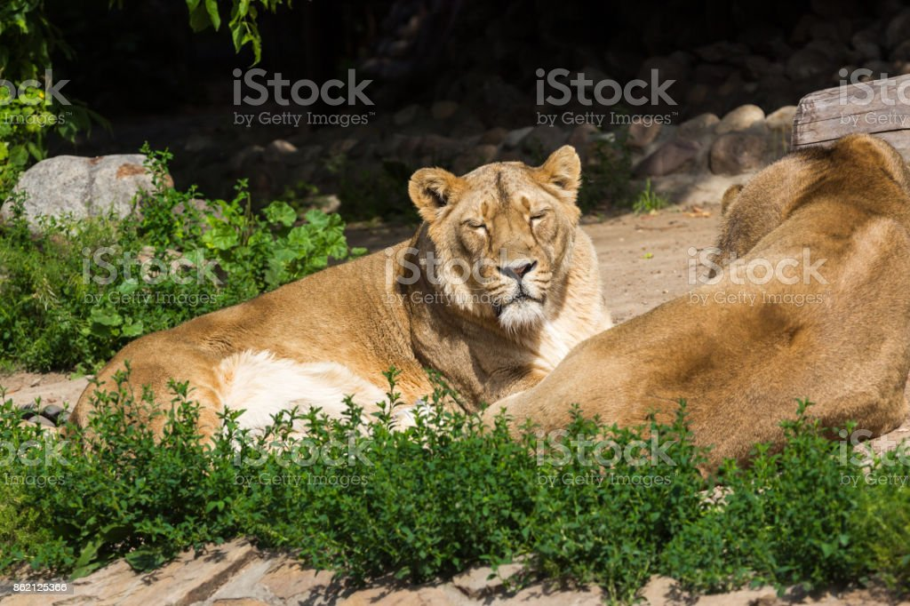 pride rests before the hunt, young male Asian lion and female stock photo