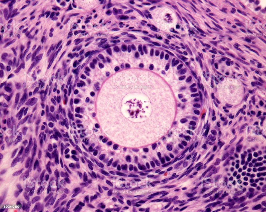 Primary ovary follicle stock photo