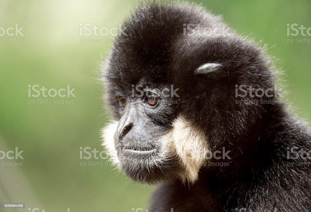 primate gibbon (Nomascus gabriellae) stock photo
