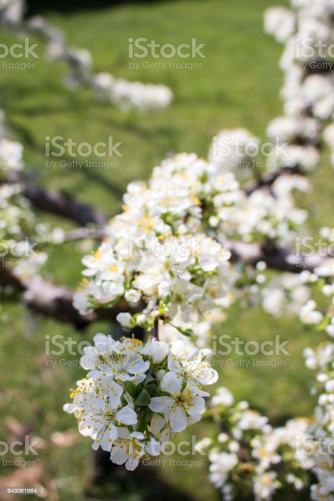 Fiori 94.Primavera Fiori Giardino Frutta Polline Stock Photo Download