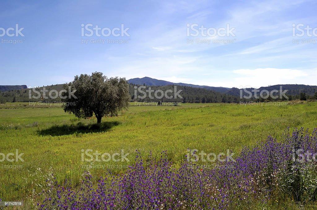 Fiori Ulivo.Primavera Vecchio Ulivo E Fiori Di Campo Stock Photo Download