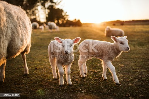 prime lambs on green grass