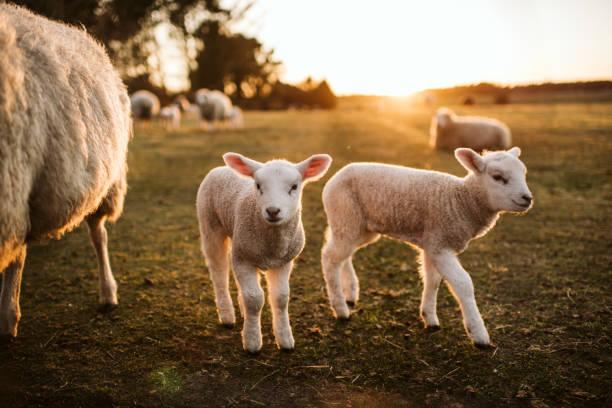 amorcer des agneaux sur l'herbe verte - Photo