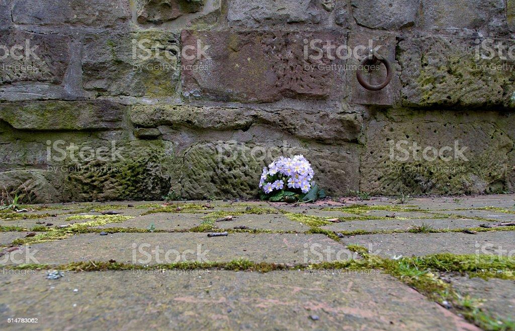 Primel vor einer Mauer stock photo