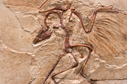 Archaeopteryx marble imprint, fossilized imprint, imprint transitional form (mosaic form), of a theropod dinosaur. Replica of a lime-impression (limestone slab) from the Jurassic about 150 million years old.