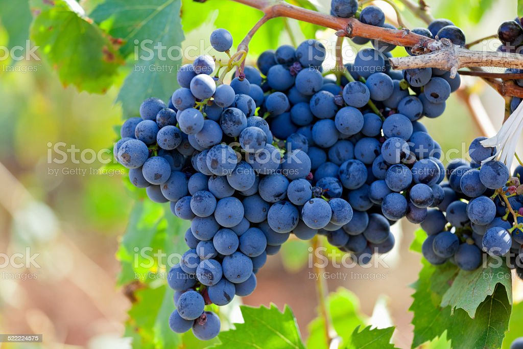 Primitivo Grapes Puglia Italy stock photo