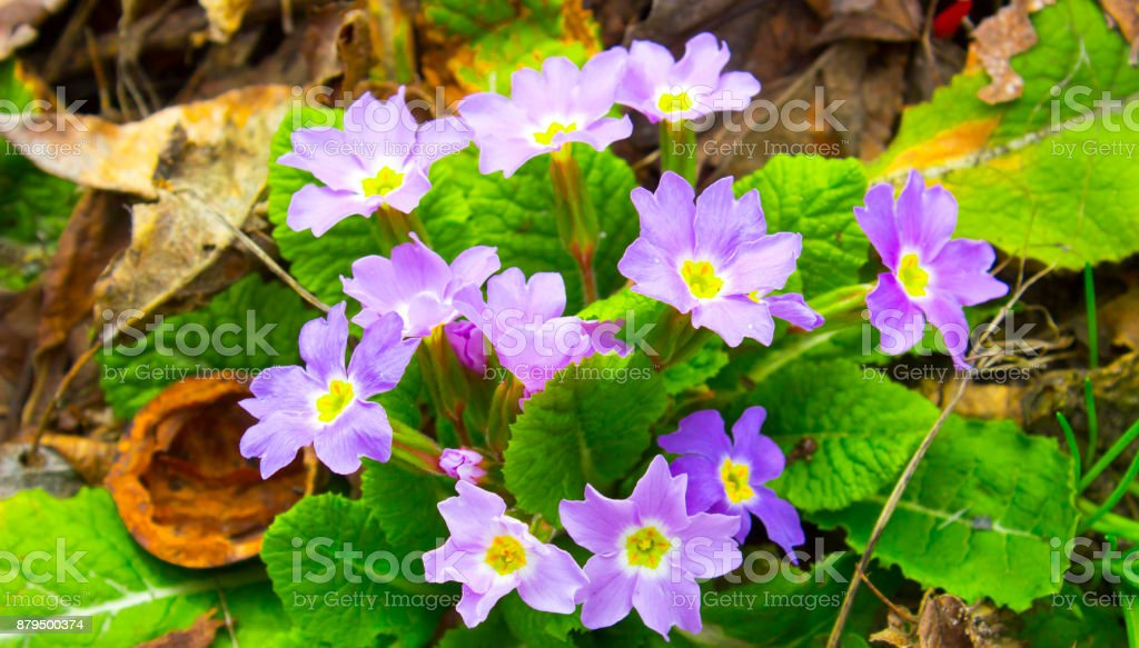 Primrose, a flower that blooms in early spring, and has a varied color of petals stock photo