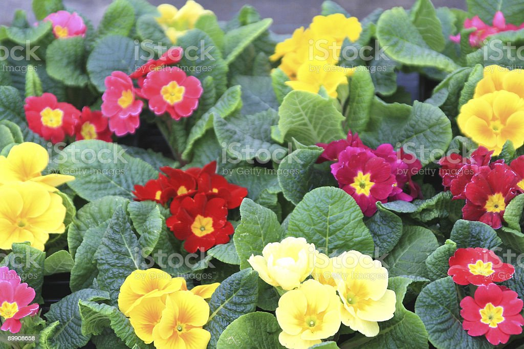 Primrose Background royalty-free stock photo