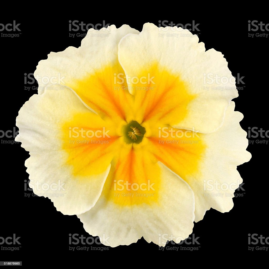 Primrose Flower Isolated White With Yellow Center Stock Photo More