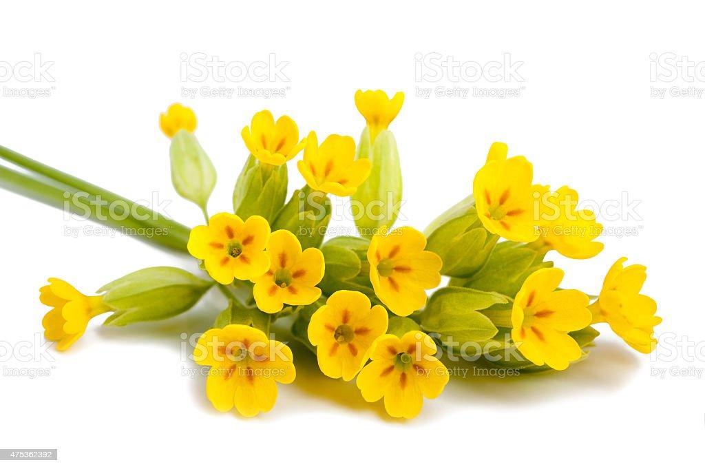 Primrose flowers stock photo