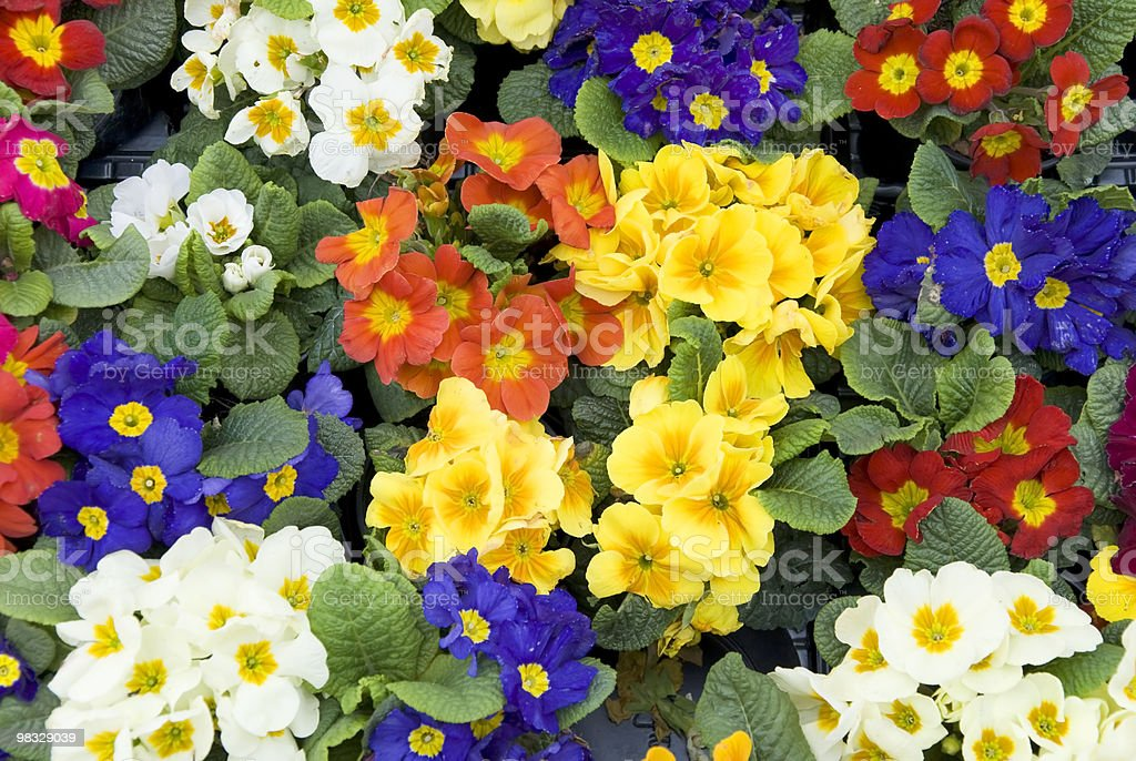 primrose flowers royalty-free stock photo