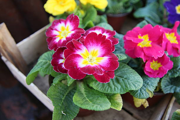 Primrose 'Hethor Giant Pink/White Bicolor' Primrose Flowers  (Primula acaulis) primula stock pictures, royalty-free photos & images