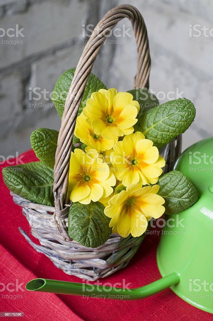 Primrose in a basket royalty-free stock photo