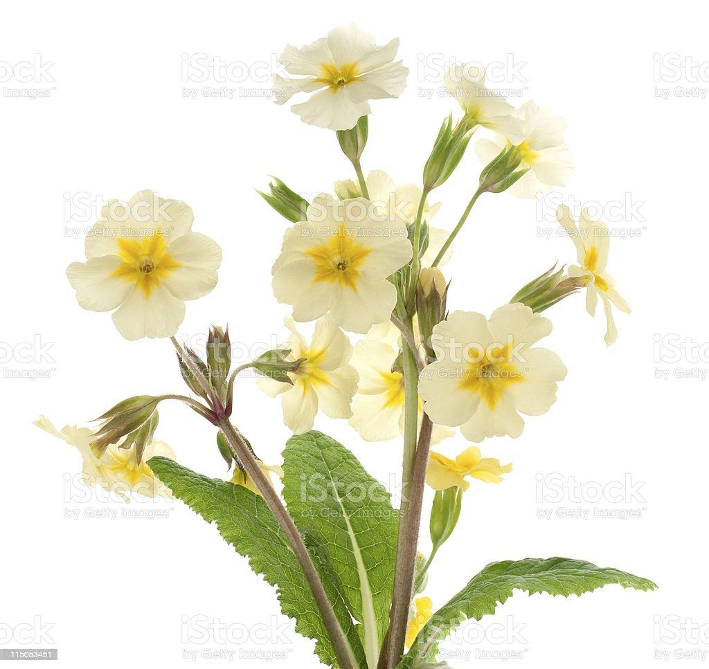 primrose stock photo